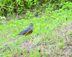 Grey-backed Thrush (Turdus Hortulorum), a winter and spring visitor