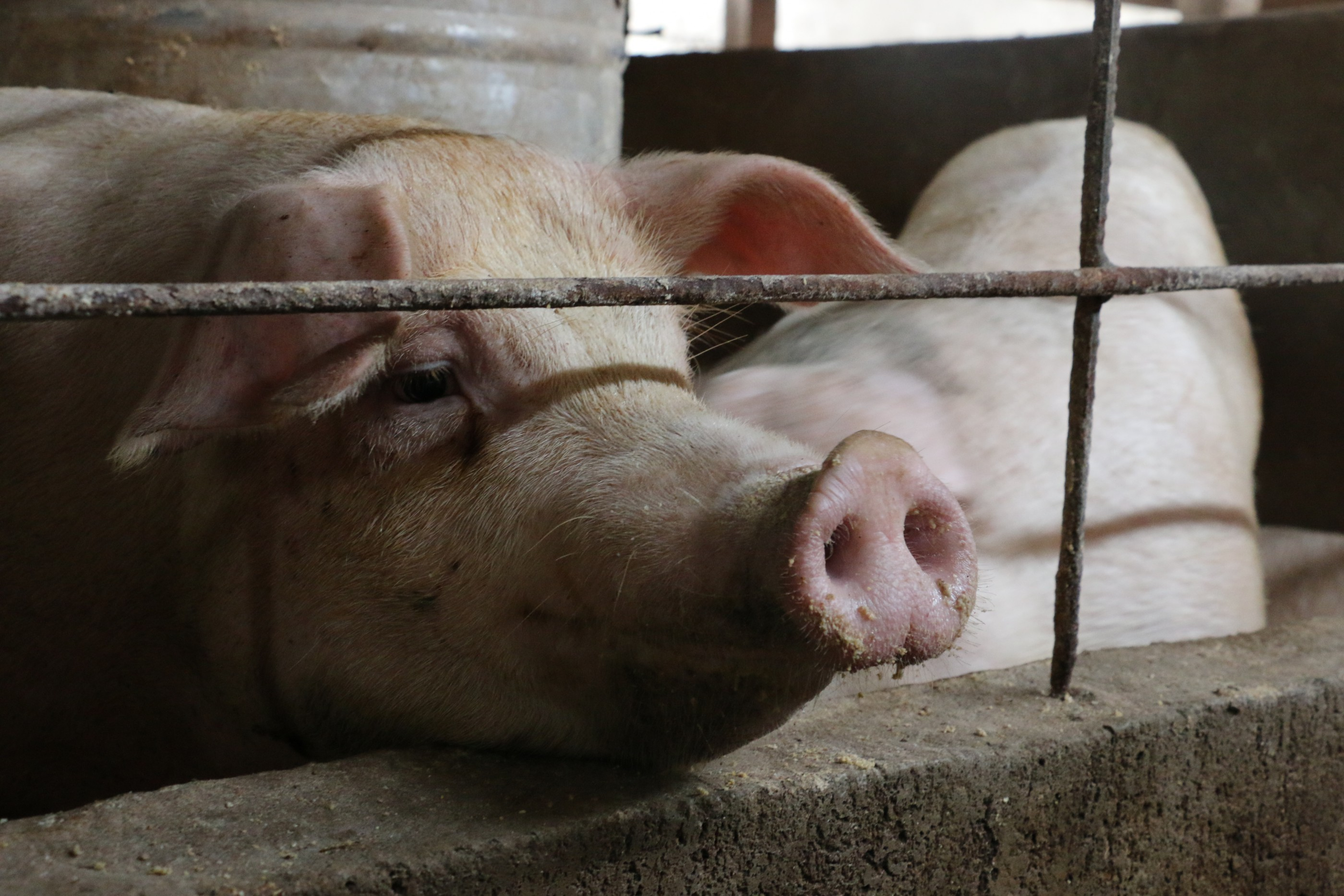 Hong Kong livestock industry shrinking pigs