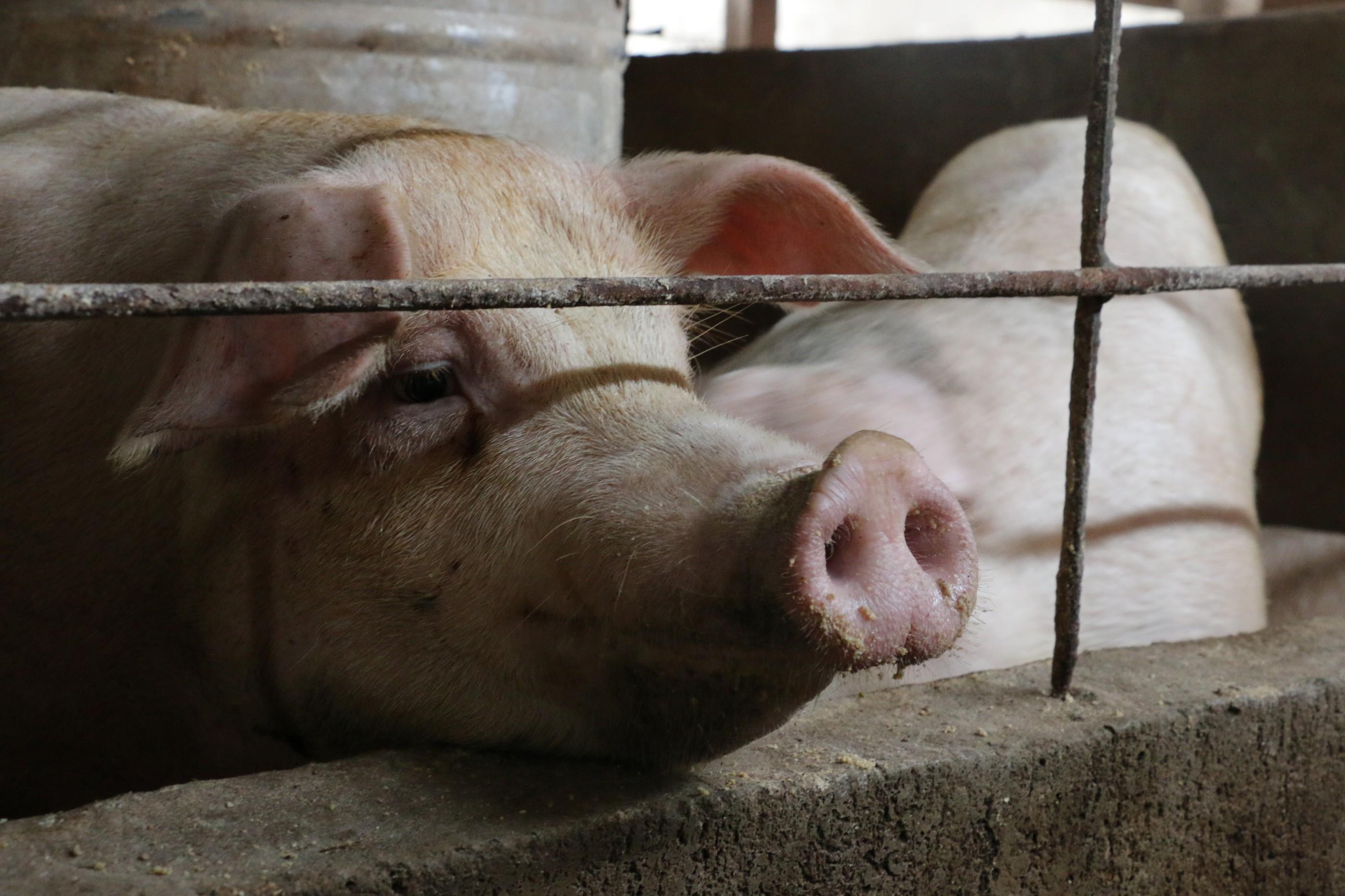 Hong Kong livestock industry shrinking pigs