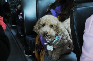 A poodle traveling with its owner on 99bus.